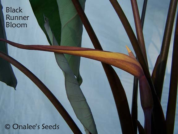 Image 1 of Elephant Ear: BLACK RUNNER (Black Ruffles, Like Black Magic) Plant is HERE!