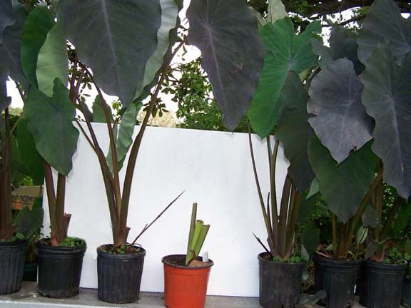 Image 2 of Elephant Ear: BLACK RUNNER (Black Ruffles, Like Black Magic) Plant is HERE!