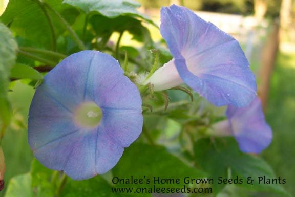 Image 1 of Native Blue / Ivy Leaved Morning Glory (Ipomoea hederacea) Seeds