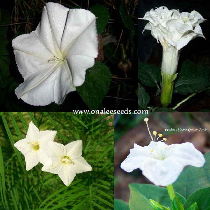 Night Garden Collection #1: Fragrant White Flowers - 4 packs for the price of 3!