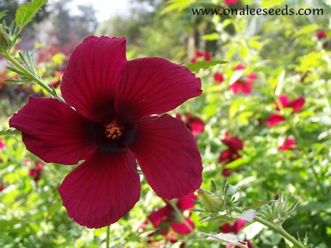 October Rose (Monarch Rose Mallow,  Ruby Hibiscus, H. Radiatus) Hibiscus Seeds