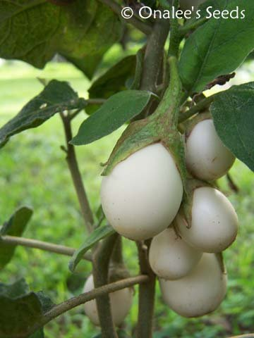 Image 1 of Ornamental  - Wonder  - Easter Egg Plant Seeds (Solanum Ovigerum) Eggplant