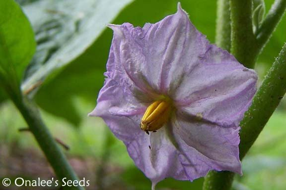 Image 2 of Ornamental  - Wonder  - Easter Egg Plant Seeds (Solanum Ovigerum) Eggplant