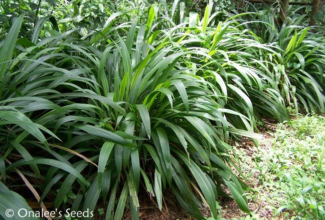Image 1 of Palm Grass (Setaria Palmifolia) Ornamental Grass, Tropical garden or houseplant