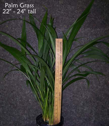 Image 2 of Palm Grass (Setaria Palmifolia) Ornamental Grass, Tropical garden or houseplant