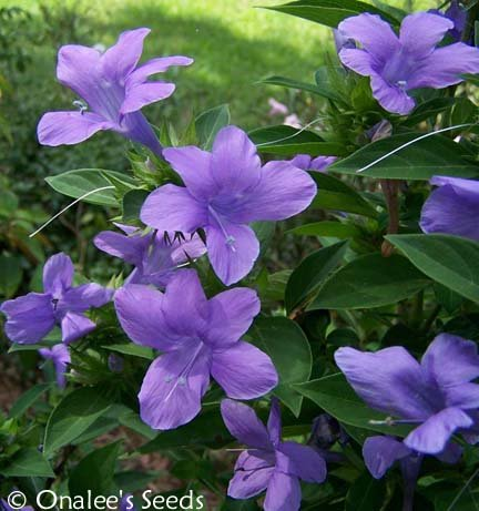 Image 2 of Philippine Violet Seeds,  Barleria cristata, Hardy shrub lavender blooms.