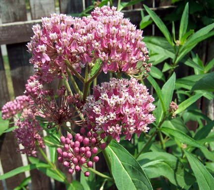 Image 0 of Butterfly Milkweed Seeds: PINK ''Cinderella'' , Asclepias incarnata)