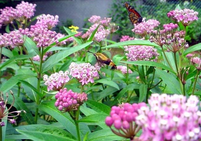 Image 1 of Butterfly Milkweed Seeds: PINK ''Cinderella'' , Asclepias incarnata)