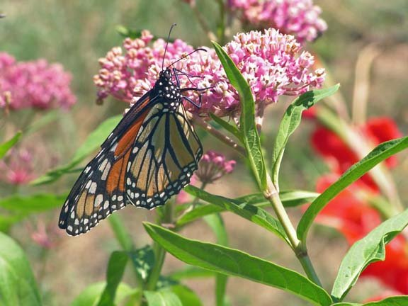 Image 2 of Butterfly Milkweed Seeds: PINK ''Cinderella'' , Asclepias incarnata)