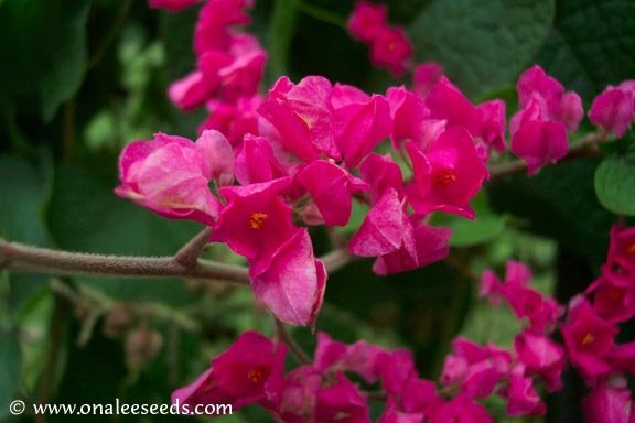 Image 0 of Coral Vine Seeds: PINK (Antigonon leptopus) AKA: Rosa De Montana,Queen's Wreath