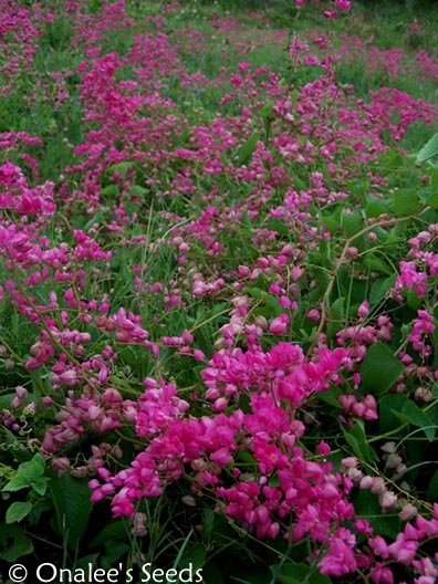 Image 1 of Coral Vine Seeds: PINK (Antigonon leptopus) AKA: Rosa De Montana,Queen's Wreath