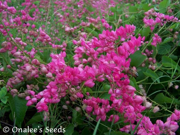 Image 2 of Coral Vine Seeds: PINK (Antigonon leptopus) AKA: Rosa De Montana,Queen's Wreath