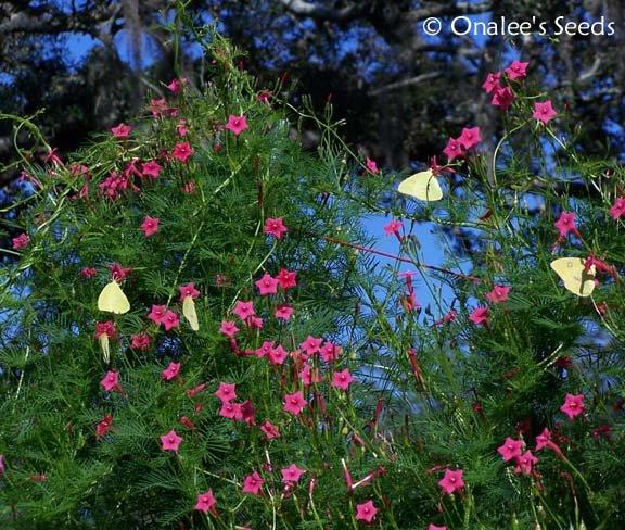 Image 1 of Cypress Vine: PINK (Ipomoea quamoclit) AKA: Hummingbird Vine, Star Glory
