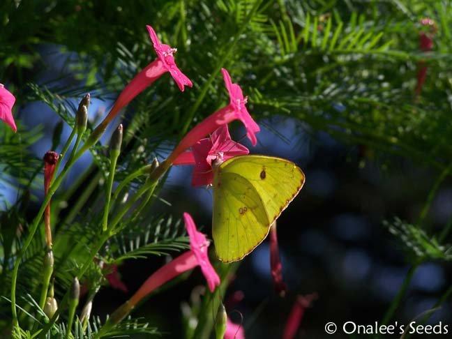 Image 2 of Cypress Vine: PINK (Ipomoea quamoclit) AKA: Hummingbird Vine, Star Glory