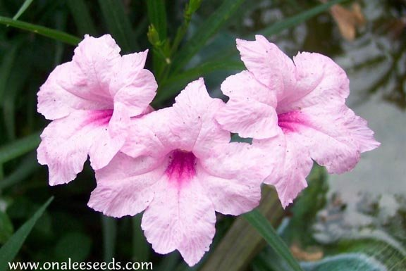 Mexican Petunia, Chi Chi: PINK (Ruellia brittoniana) Seeds