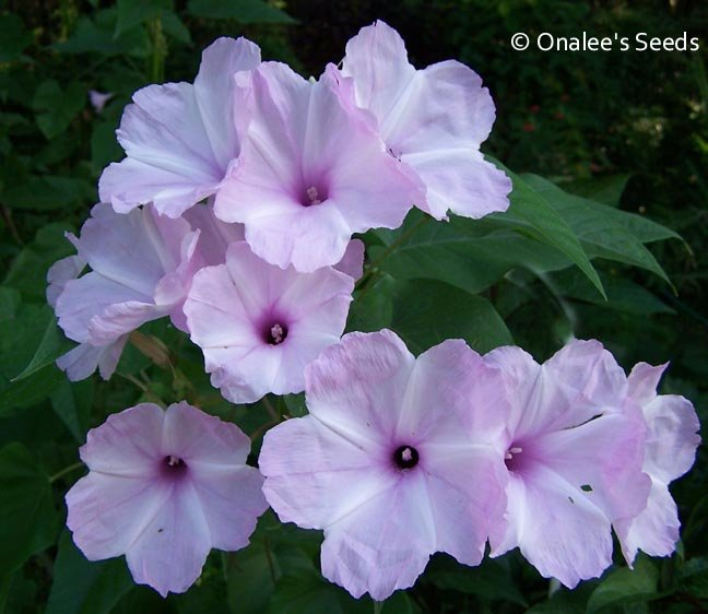 Morning Glory TREE BUSH Seeds, PINK FLOWERS (Ipomoea carnea / Ipomoea fistulosa)