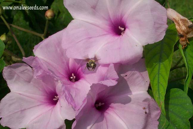Image 1 of Morning Glory TREE BUSH Seeds, PINK FLOWERS (Ipomoea carnea / Ipomoea fistulosa)