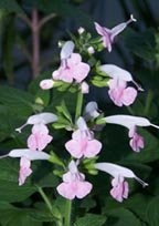 Texas Sage, Salvia Seeds: PINK (Salvia Coccinea)