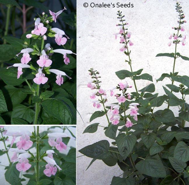 Image 1 of Texas Sage, Salvia Seeds: PINK (Salvia Coccinea)