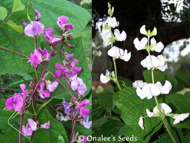 Image 0 of Hyacinth Bean Vine Seeds: Purple & White Mix - Lablab purpureus, Dolichos lablab