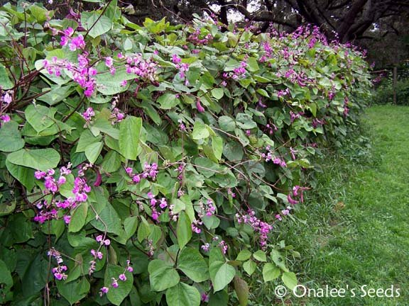 Image 1 of Hyacinth Bean Vine Seeds: Purple & White Mix - Lablab purpureus, Dolichos lablab