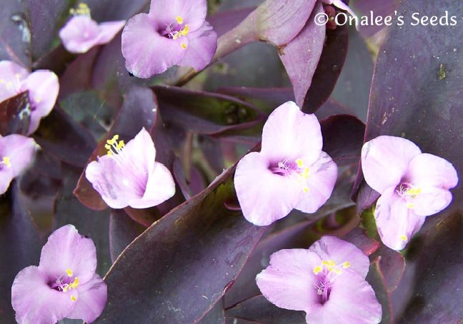 Purple Heart / ''Purple Queen'' Wandering Jew,  Inch Plant -Tradescantia pallida
