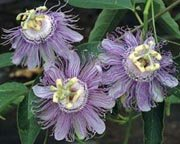 Image 0 of Passion Flower: Purple , MayPop, Apricot Vine (Passiflora incarnata) Seeds