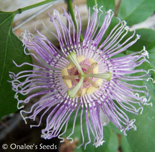 Image 1 of Passion Flower: Purple , MayPop, Apricot Vine (Passiflora incarnata) Seeds