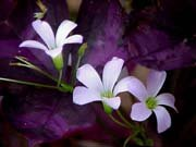 Image 2 of OXALIS: Purple Shamrock (Wood Sorrel) Light Pink flowers ''Triangularis'