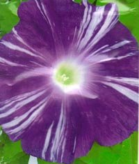 Image 0 of Raiko -''Lightning'' Large Purple blooms w/white stripes Japanese Morning Glory