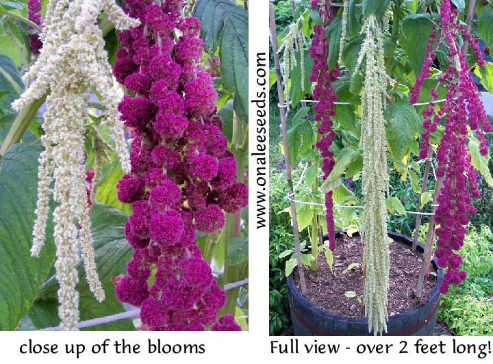 PONY TAILS: Red and/or Green Amaranthus, Celosia, Tassel Flower Seeds