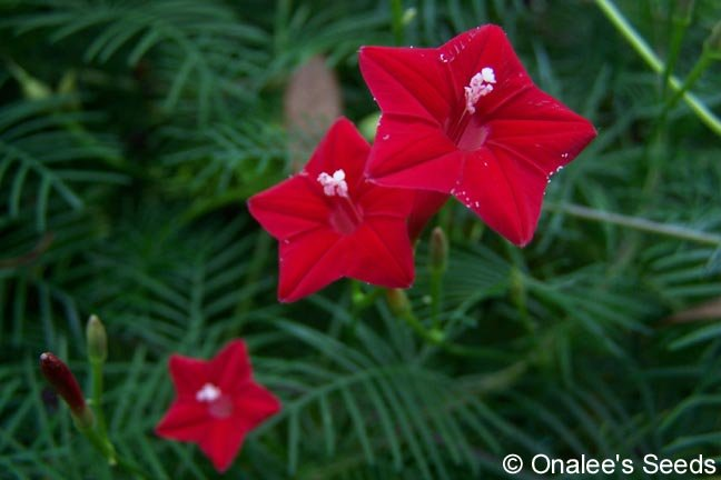 Image 2 of Cypress Vine RED aka: Hummingbird Vine / Star Glory (Ipomoea quamoclit) Seeds