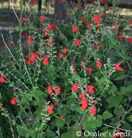 Texas Sage: Red, Hummingbird Sage, Scarlet Sage, Forest Fire (Salvia Coccinea)