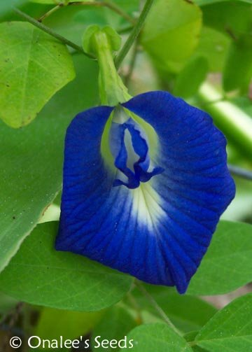 Butterfly Pea Vine Seeds: Rich Royal Blue,  (Clitoria ternatea, bunga telang)