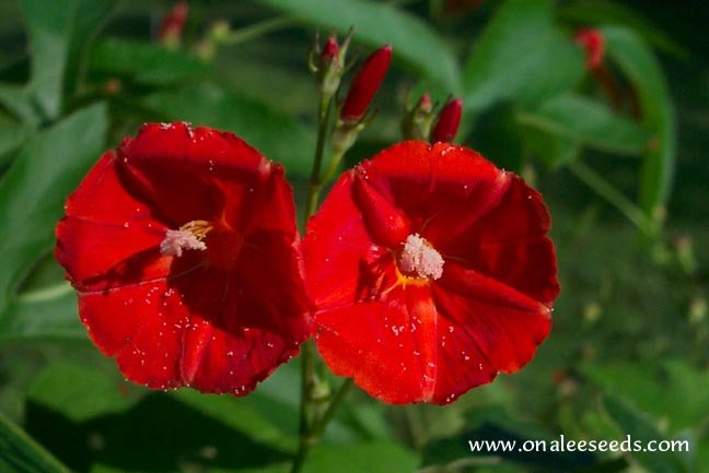 Scarlet Star Orange (Ipomoea coccinea var. hederifolia) Morning Glory Seeds