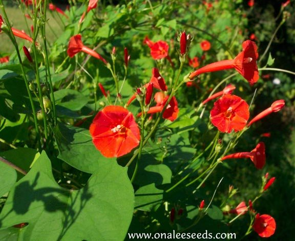 Image 1 of Scarlet Star Orange (Ipomoea coccinea var. hederifolia) Morning Glory Seeds
