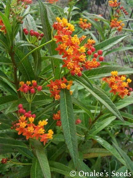 Image 1 of Butterfly Milkweed: Scarlet/Red (Asclepias) Seeds *Monarch Butterfly Host Plant*