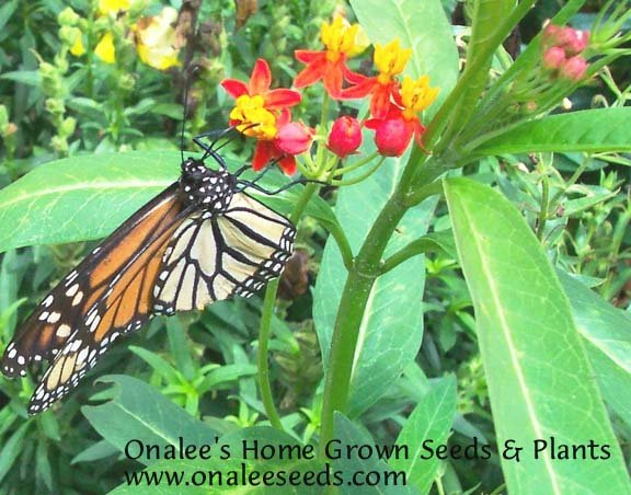 Image 2 of Butterfly Milkweed: Scarlet/Red (Asclepias) Seeds *Monarch Butterfly Host Plant*