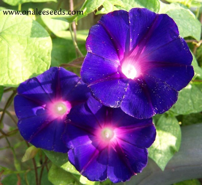 Image 1 of Star of Yelta (Deep Velvety Purple) Morning Glory (Ipomoea purpurea) Seeds