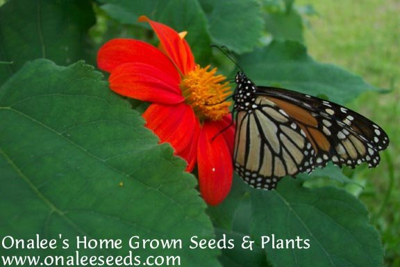 Image 1 of Torch Mexican Sunflower (Tithonia rotundifolia) Seeds *BUTTERFLIES, HUMMINGBIRDS