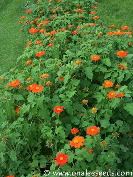 Image 2 of Torch Mexican Sunflower (Tithonia rotundifolia) Seeds *BUTTERFLIES, HUMMINGBIRDS