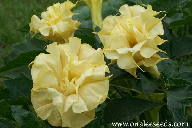 Datura Metel, Triple Yellow Devil's Trumpet Seeds