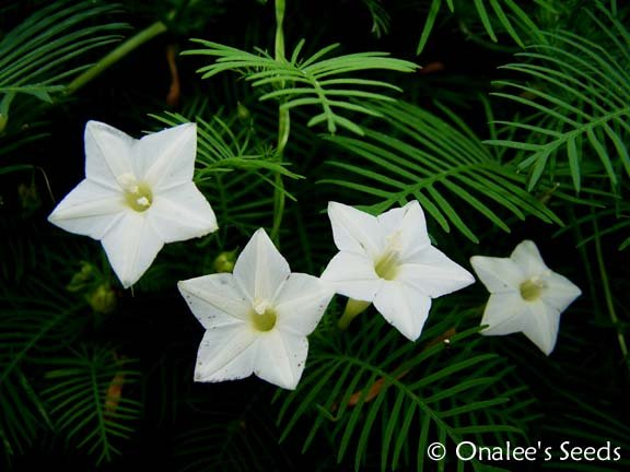 Image 1 of Cypress Vine: White (Hummingbird Vine/Star Glory) Seeds (Ipomoea quamoclit)
