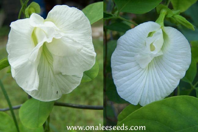 Image 1 of Butterfly Pea Vine: White Single and Double Mix,Clitoria ternatea ''Alba'' Seeds