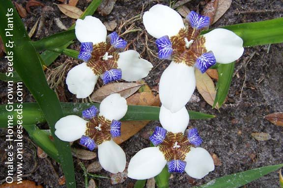 Image 1 of Walking Iris: White/Purple , Apostle Plant (Neomarica gracilis) Live Plants!