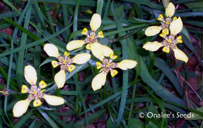Image 2 of Walking Iris: Yellow, Apostle Plant (Neomarica longifolia) 5 BABY PLANTS