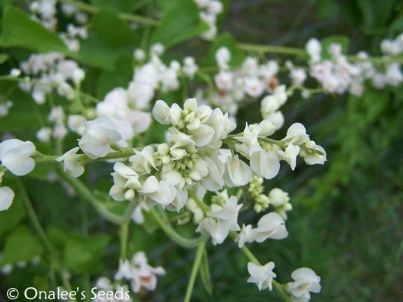 Image 1 of Coral Vine: WHITE Seeds (Antigonon leptopus ''ALBA''), Pollinator attractor!