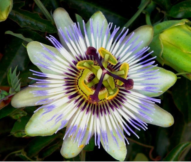 Image 1 of Passion Flower: Blue, Common, Hardy Vine (Passiflora caerulea) Seeds
