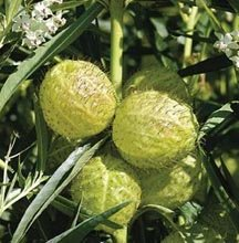 Image 0 of Butterfly Milk Weed Balloon Plant, Hairy Balls Seeds,Asclepias Physoca