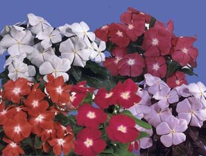 Vinca, Madagascar Periwinkle ''Pacifica'' Seeds Mixed Colors HEAT & SUN LOVER!